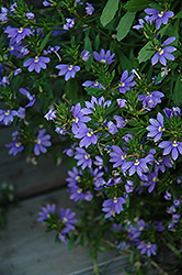 Whirlwind® Blue Fan Flower (Scaevola aemula 'Whirlwind Blue') at Begick Nursery