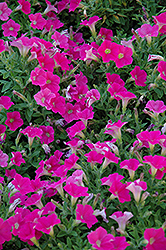 Shock Wave Rose Petunia (Petunia 'Shock Wave Rose') at Begick Nursery