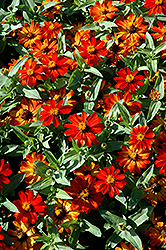 Zahara® Fire Zinnia (Zinnia 'Zahara Fire') at Begick Nursery