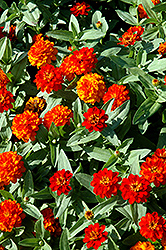 Profusion Double Fire Zinnia (Zinnia 'Profusion Double Fire') at Begick Nursery