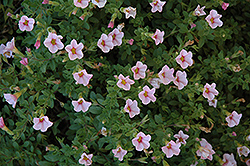 Superbells® Cherry Blossom Calibrachoa (Calibrachoa 'Superbells Cherry Blossom') at Begick Nursery
