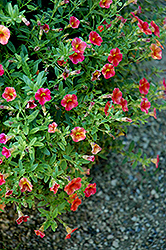 Superbells® Tequila Sunrise Calibrachoa (Calibrachoa 'Superbells Tequila Sunrise') at Begick Nursery