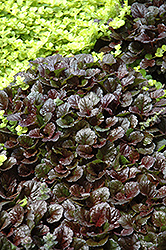 Black Scallop Bugleweed (Ajuga reptans 'Black Scallop') at Begick Nursery