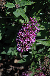 Flutterby Petite® Tutti Fruitti Butterfly Bush (Buddleia davidii 'Podaras 13') at Begick Nursery