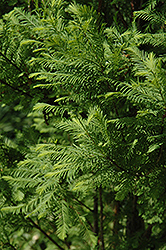 Lindsey's Skyward Bald Cypress (Taxodium distichum 'Skyward') at Begick Nursery