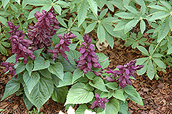 Vista Purple Sage (Salvia splendens 'Vista Purple') at Begick Nursery