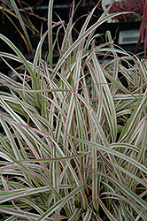 Cherry Sparkler Fountain Grass (Pennisetum 'Cherry Sparkler') at Begick Nursery