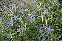 Beth's Blue Laurentia (Isotoma axillaris 'Beth's Blue') at Begick Nursery