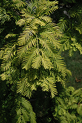 Gold Rush Dawn Redwood (Metasequoia glyptostroboides 'Gold Rush') at Begick Nursery