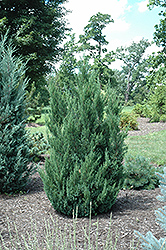 Blue Point Juniper (Juniperus chinensis 'Blue Point') at Begick Nursery