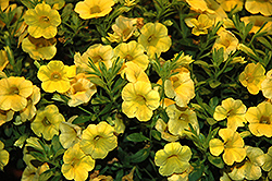 Callie® Yellow Calibrachoa (Calibrachoa 'Callie Yellow') at Begick Nursery