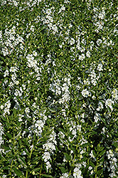 Angelface® White Angelonia (Angelonia angustifolia 'Angelface White') at Begick Nursery