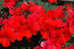 Caliente Orange Geranium (Pelargonium 'Caliente Orange') at Begick Nursery