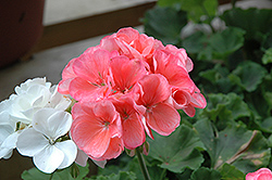 Americana® Salmon Geranium (Pelargonium 'Americana Salmon') at Begick Nursery