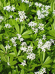 Sweet Woodruff (Galium odoratum) at Begick Nursery