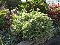Emerald Gaiety Wintercreeper (Euonymus fortunei 'Emerald Gaiety') at Begick Nursery