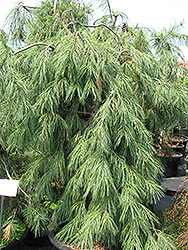 Weeping White Pine (Pinus strobus 'Pendula') at Begick Nursery