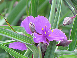 Concord Grape Spiderwort (Tradescantia x andersoniana 'Concord Grape') at Begick Nursery