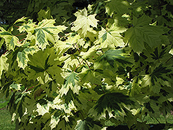 Variegated Norway Maple (Acer platanoides 'Variegatum') at Begick Nursery