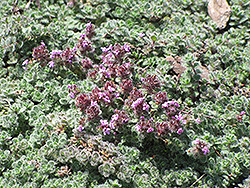 Wooly Thyme (Thymus pseudolanuginosis) at Begick Nursery