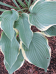 Regal Splendor Hosta (Hosta 'Regal Splendor') at Begick Nursery