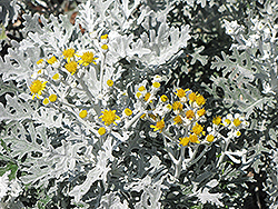 Silver Dust Dusty Miller (Senecio cineraria 'Silver Dust') at Begick Nursery