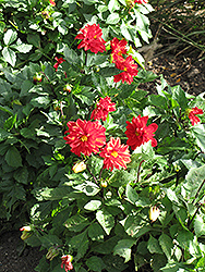 Figaro™ Red Shades Dahlia (Dahlia 'Figaro Red Shades') at Begick Nursery