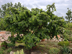 Twisted Baby® Black Locust (Robinia pseudoacacia 'Lace Lady') at Begick Nursery