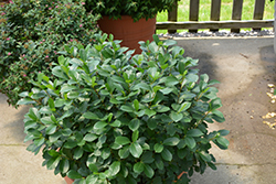 Low Scape® Mound Aronia (Aronia melanocarpa 'UCONNAM165') at Begick Nursery