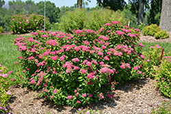 Double Play® Red Spirea (Spiraea japonica 'SMNSJMFR') at Begick Nursery