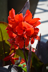 Toucan® Scarlet Canna (Canna 'Toucan Scarlet') at Begick Nursery