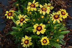UpTick™ Yellow and Red Tickseed (Coreopsis 'Baluptowed') at Begick Nursery