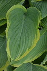 Victory Hosta (Hosta 'Victory') at Begick Nursery