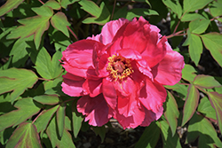 Houki Tree Peony (Paeonia suffruticosa 'Houki') at Begick Nursery
