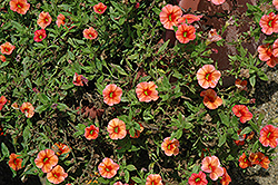 Callie® Orange Calibrachoa (Calibrachoa 'Callie Orange') at Begick Nursery