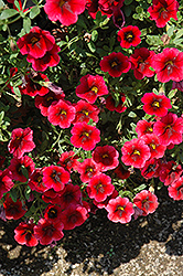 Superbells® Pomegranate Punch Calibrachoa (Calibrachoa 'Superbells Pomegranate Punch') at Begick Nursery
