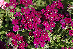 Lanai® Deep Purple Verbena (Verbena 'Lanai Deep Purple') at Begick Nursery