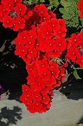 Fuego Bright Red Verbena (Verbena 'Fuego Bright Red') at Begick Nursery