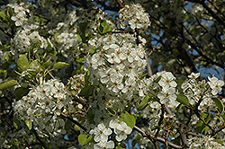 Cleveland Select Ornamental Pear (Pyrus calleryana 'Cleveland Select') at Begick Nursery