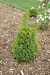 Green Mountain Boxwood (Buxus 'Green Mountain') at Begick Nursery