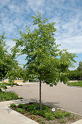 Majestic Skies™ Northern Pin Oak (Quercus ellipsoidalis 'Bailskies') at Begick Nursery