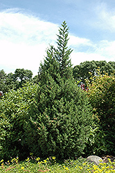 Star Power Juniper (Juniperus 'J.N. Select Blue') at Begick Nursery
