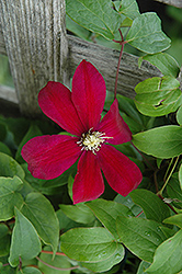 Sunset Clematis (Clematis 'Sunset') at Begick Nursery