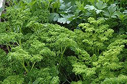 Curly Parsley (Petroselinum crispum 'var. crispum') at Begick Nursery