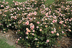 Apricot Drift® Rose (Rosa 'Meimirrote') at Begick Nursery