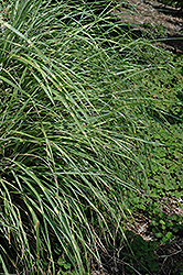 Little Zebra Dwarf Maiden Grass (Miscanthus sinensis 'Little Zebra') at Begick Nursery