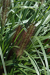 Red Head Fountain Grass (Pennisetum alopecuroides 'Red Head') at Begick Nursery