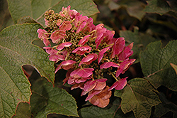Ruby Slippers Hydrangea (Hydrangea quercifolia 'Ruby Slippers') at Begick Nursery