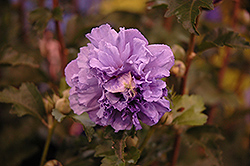 Blueberry Smoothie Rose of Sharon (Hibiscus syriacus 'DS01BS') at Begick Nursery