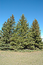 White Spruce (Picea glauca) at Begick Nursery